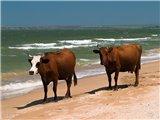 быки на пляже